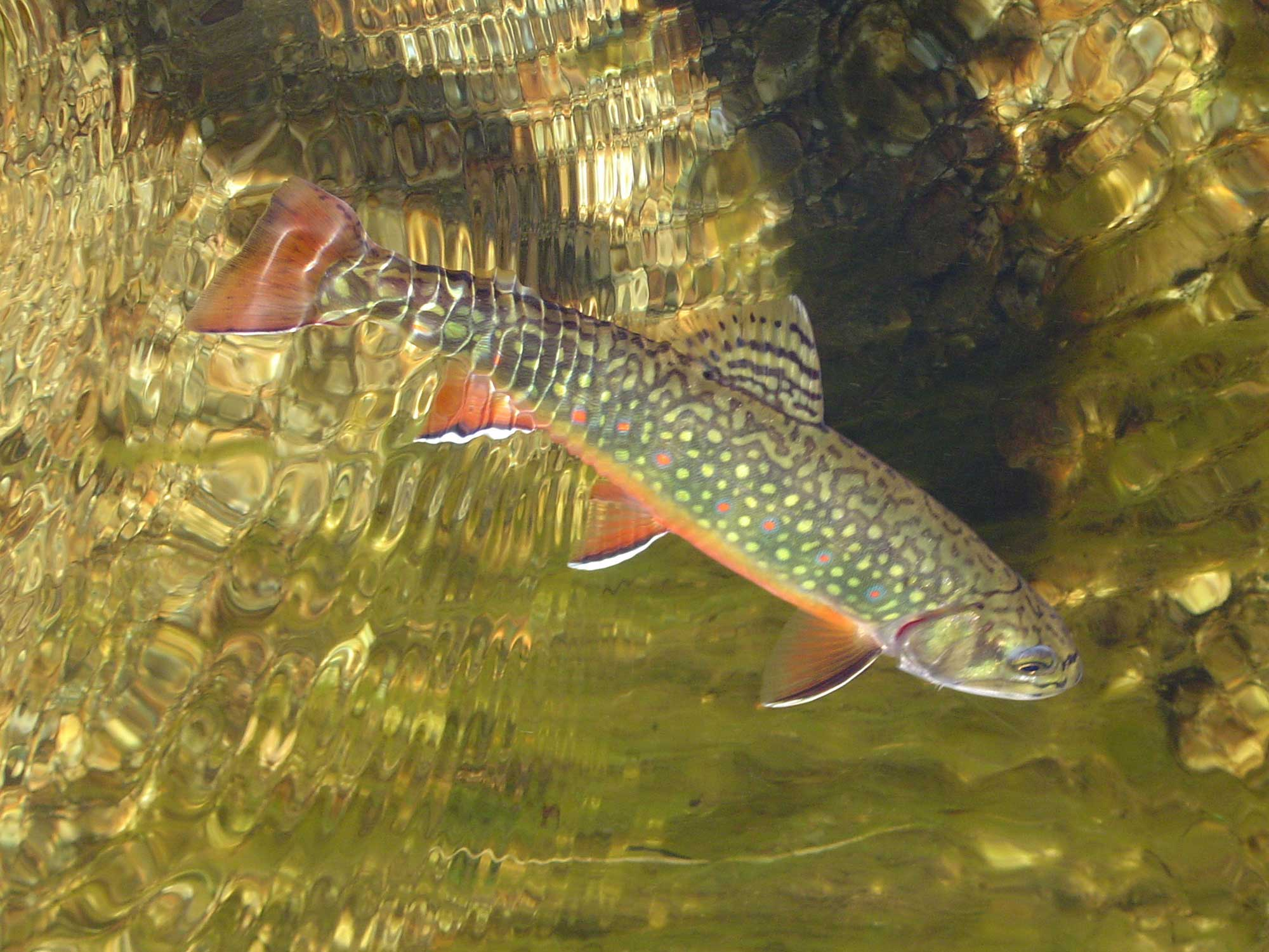Canyon Ranch Brook Trout